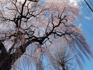 岡谷 しだれ桜